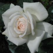 Розы Хелена Ренессанс