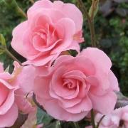 Розы Триер 2000