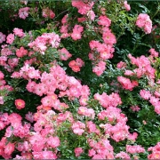 Розы Ферди