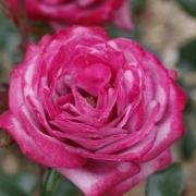 Розы Блю Ривер