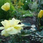 Розы Казино