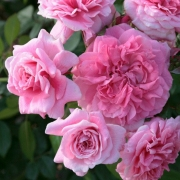 Розы Зайде