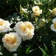 Розы Комтесса