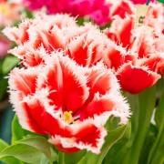 Тюльпаны Нью Санта