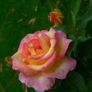 Розы Жан Пиат