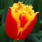 Тюльпаны Криспи Артаир