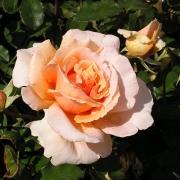 Розы Джаст Жои