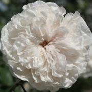 Розы Сомбрей