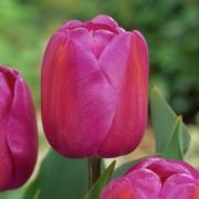 Тюльпаны Сиуорлд