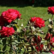 Розы Руби Анниверсари