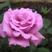 Розы Ангел Фейс