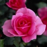 Розы Дэнсинг Баттерфлай