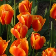 Тюльпаны Оксфордс Элит