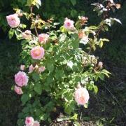 Розы Цезарь