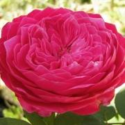 Розы Академия