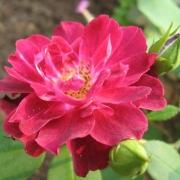 Розы Кардинал Хьюм