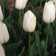 Тюльпаны Уайт Хэвен