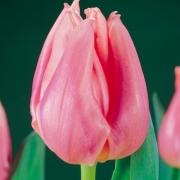 Тюльпаны Пинк Леди