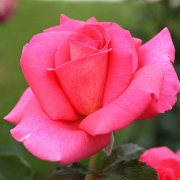 Розы Рефлетс де Ст. Мало