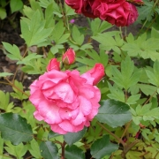 Розы Том Том