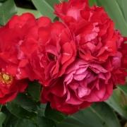 Розы Колоссал Меидилэнд