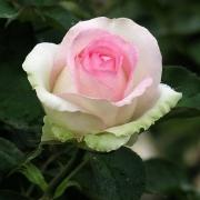 Розы Бедермеер Гарден