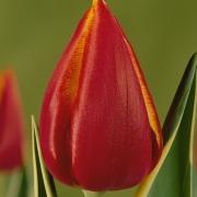 Тюльпаны Фернанда