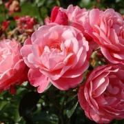 Розы Майн Шонер Гартен