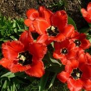 Тюльпаны Ред Райдинг Худ Криспа