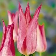 Тюльпаны Кристина ван Котен
