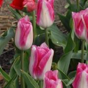 Тюльпаны Хай нун