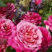 Розы Агнес Шиллигер