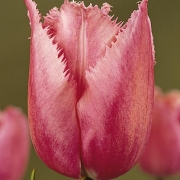 Тюльпаны Кристал Глоу