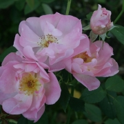 Розы Ледис Блуш