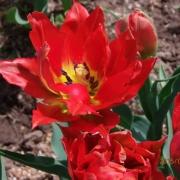 Тюльпаны Дабл Торонто