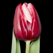 Тюльпаны НШД