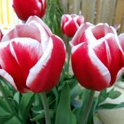 Тюльпаны Дебютант