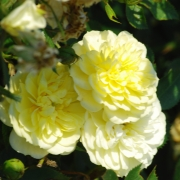 Розы Йеллоу Фэйри