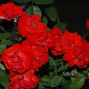 Розы Домштадт Фулда