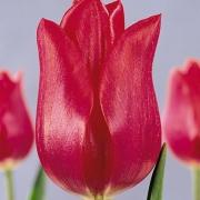 Тюльпаны Бернинг Дезаер