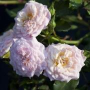 Розы Свит Дрифт