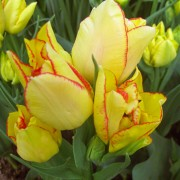 Тюльпаны Акилла