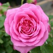 Розы Варвик Кастл
