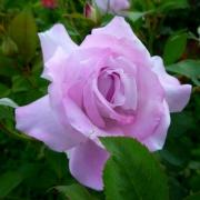 Розы Нил Блю
