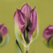 Тюльпаны Виолет Берд