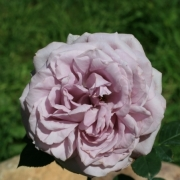 Розы Скотмен