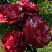 Розы ГП Брауни