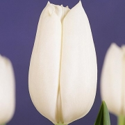 Тюльпаны Уайт Гандер