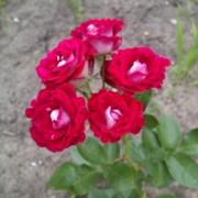 Roses Schöne Koblenzerin