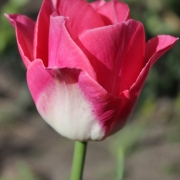 Тюльпаны Династи
